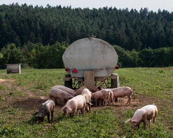 mini_freilandschweine
